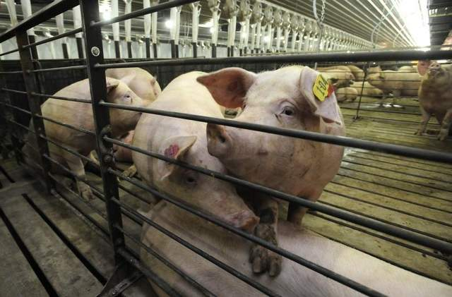 Hog Farm Pictures Hogs Rest in Pens at C&h Farms