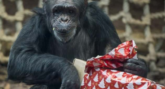 A chimpanzee unwraps a cardboard box containing fruits and vegetables it received as Christmas gift in the zoo in Veszprem, 108 kms southwest of Budapest, Hungary, Friday, Dec.16, 2016. (Boglarka Bodnar/MTI via AP)