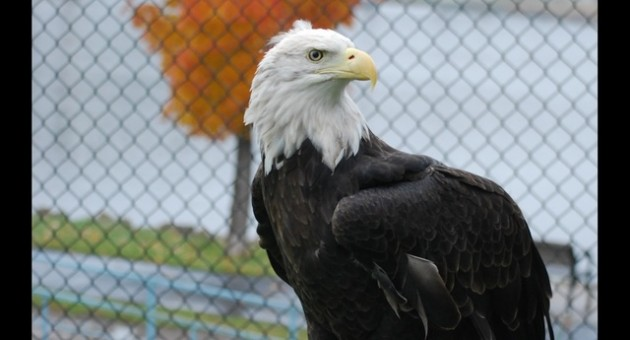harriet the eagle
