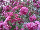 kelsey-flowering-crabapple