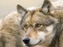 nr_wolves2_gary_schultz