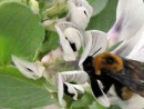 The flowers of faba bean are attractive to bees and other pollinators.