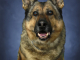 Retired Indiana State Police K9 'Mojo' passed away