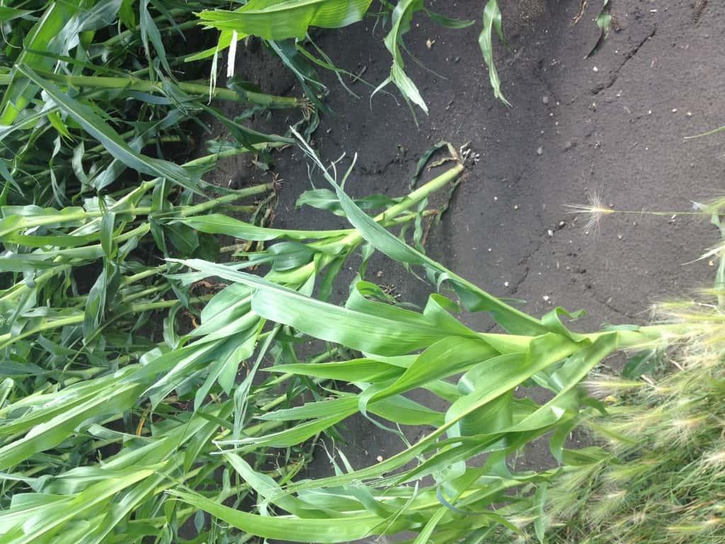 Crop Damage 7 7 16