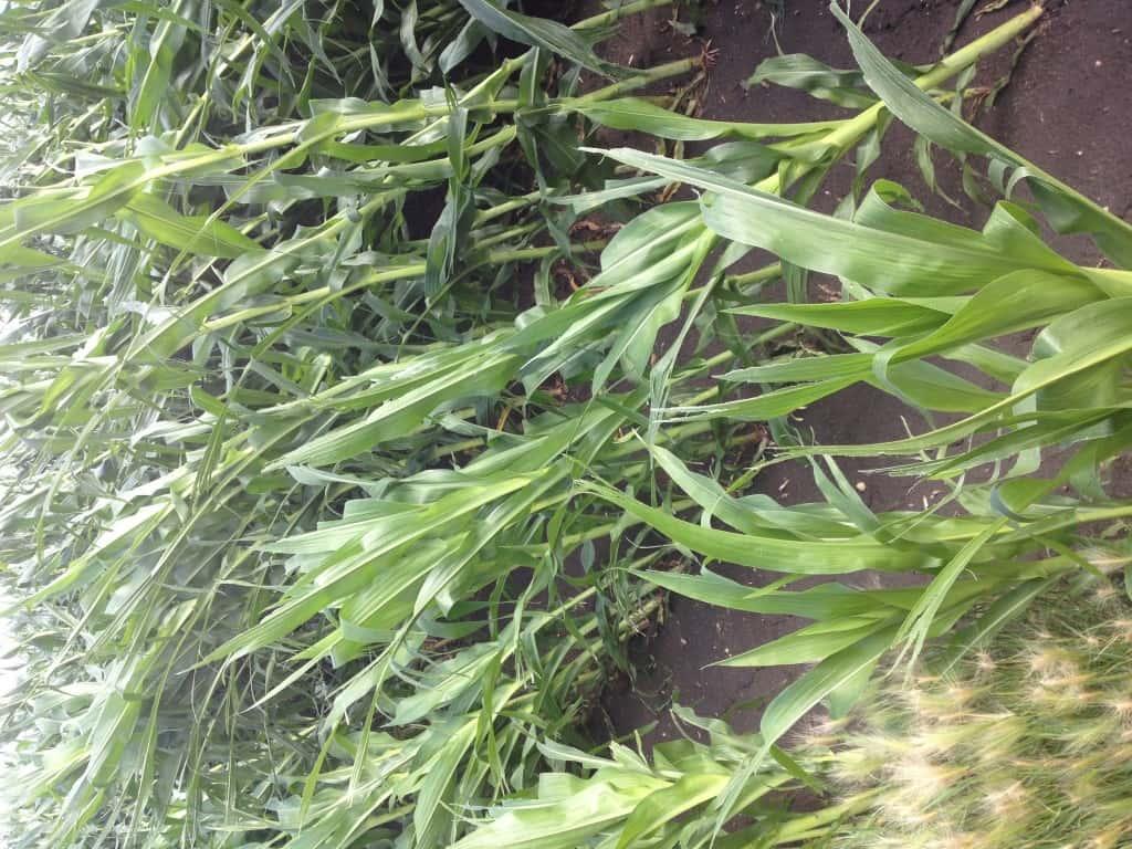Crop Damage 7 7 16 030