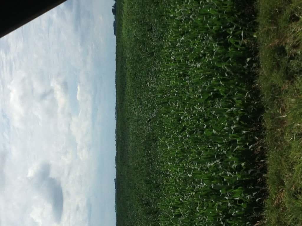 Crop Damage 7 7 16 013
