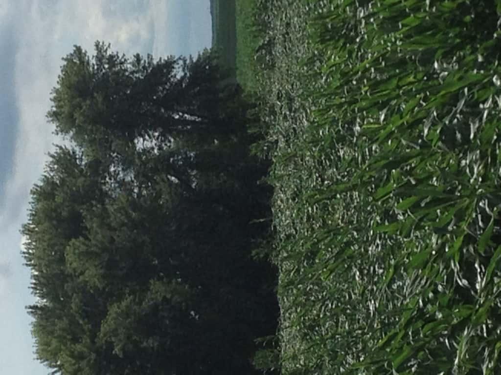 Crop Damage 7 7 16 022