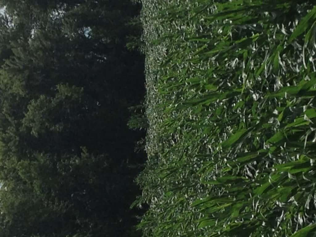 Crop Damage 7 7 16 023