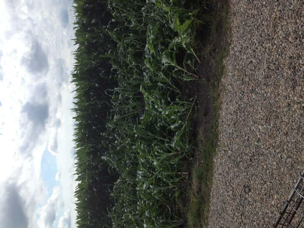 Crop Damage 7 7 16 028