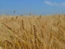 winter wheat 500 X 270