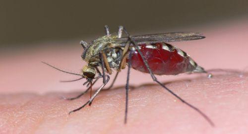 Mosquito 500 X 270