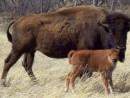 Bison calf 500 X 270