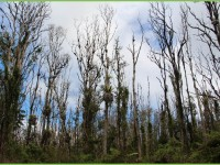ROD_dead forest canopy