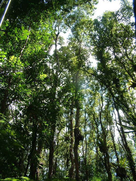 ROD_healthy forest canopy