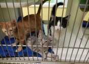 These kittens and many others are available for adoption at the Humane Society of Marshall County.