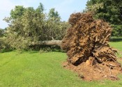 This large tree was uprooted by winds in the Draffenville area on Tuesday night.