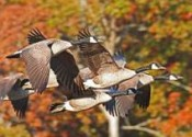 Photo credit:  Geese flying over Honker Lake in the fall. Photo by Melodie Cunningham