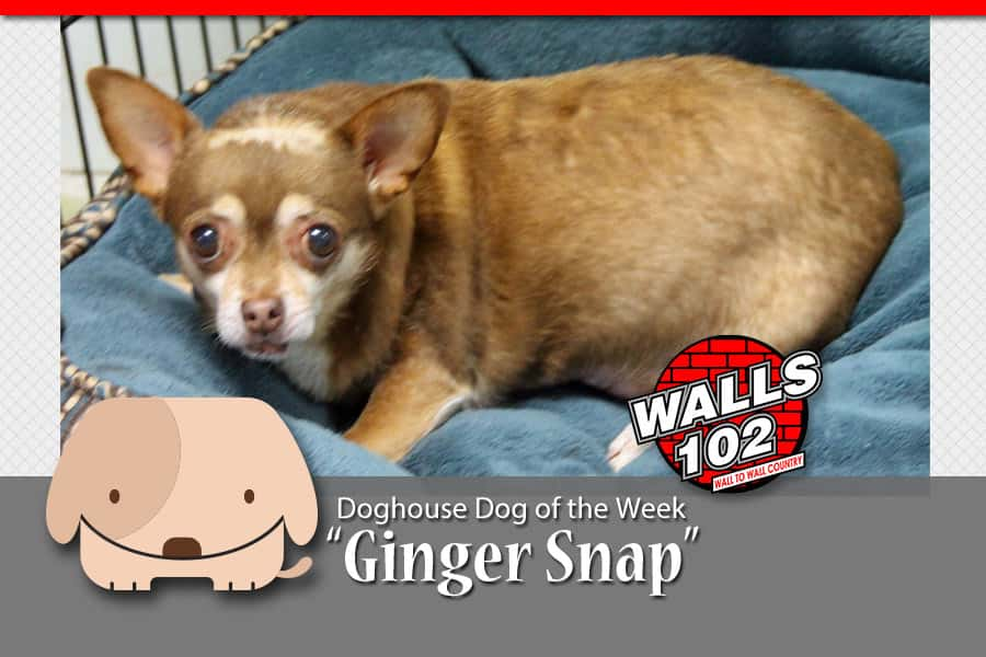 walls-dog-of-the-week-ginge