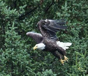 Saturday's Earth Day Carnival Will Feature Live Bald Eagle Release