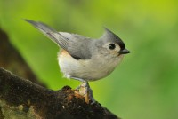 1280px-Tufted_Titmouse,_West_Road