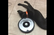 Roombas-attempt-to-clean-floor-foiled-by-lazy-dogs-nap