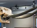 Mastodon skull at SC4s Museum