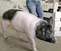 Rock County Fair pig