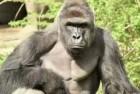 160601195342-inside-gorillas-mind-marquez-dnt-ebof-00021702-large-tease