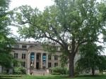 Black Walnut tree on the University of Iowa campus.