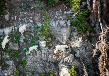 You can see mountain goats --  like these in north-central Utah -- at the Aug. 6 event on Tushar Mountain.