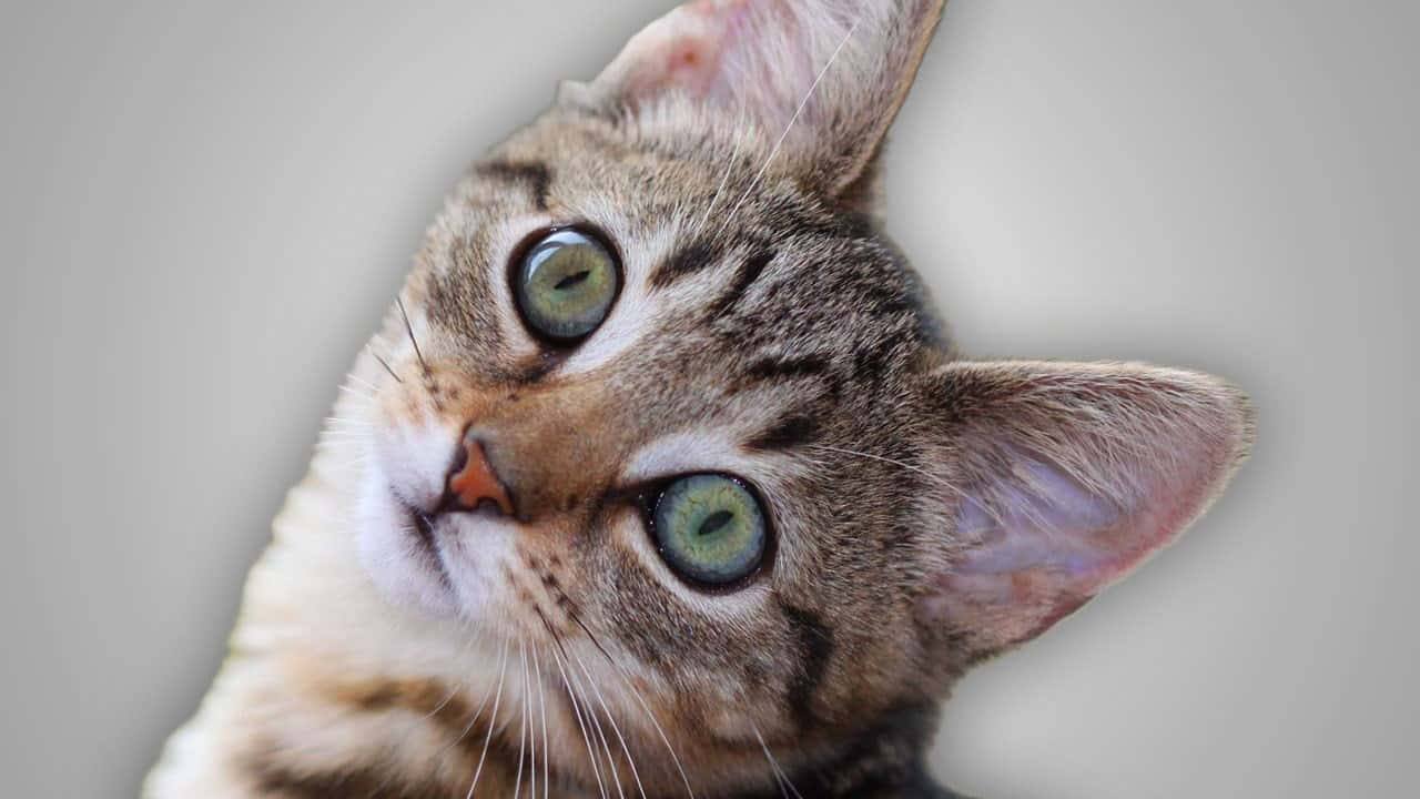 Halp cat