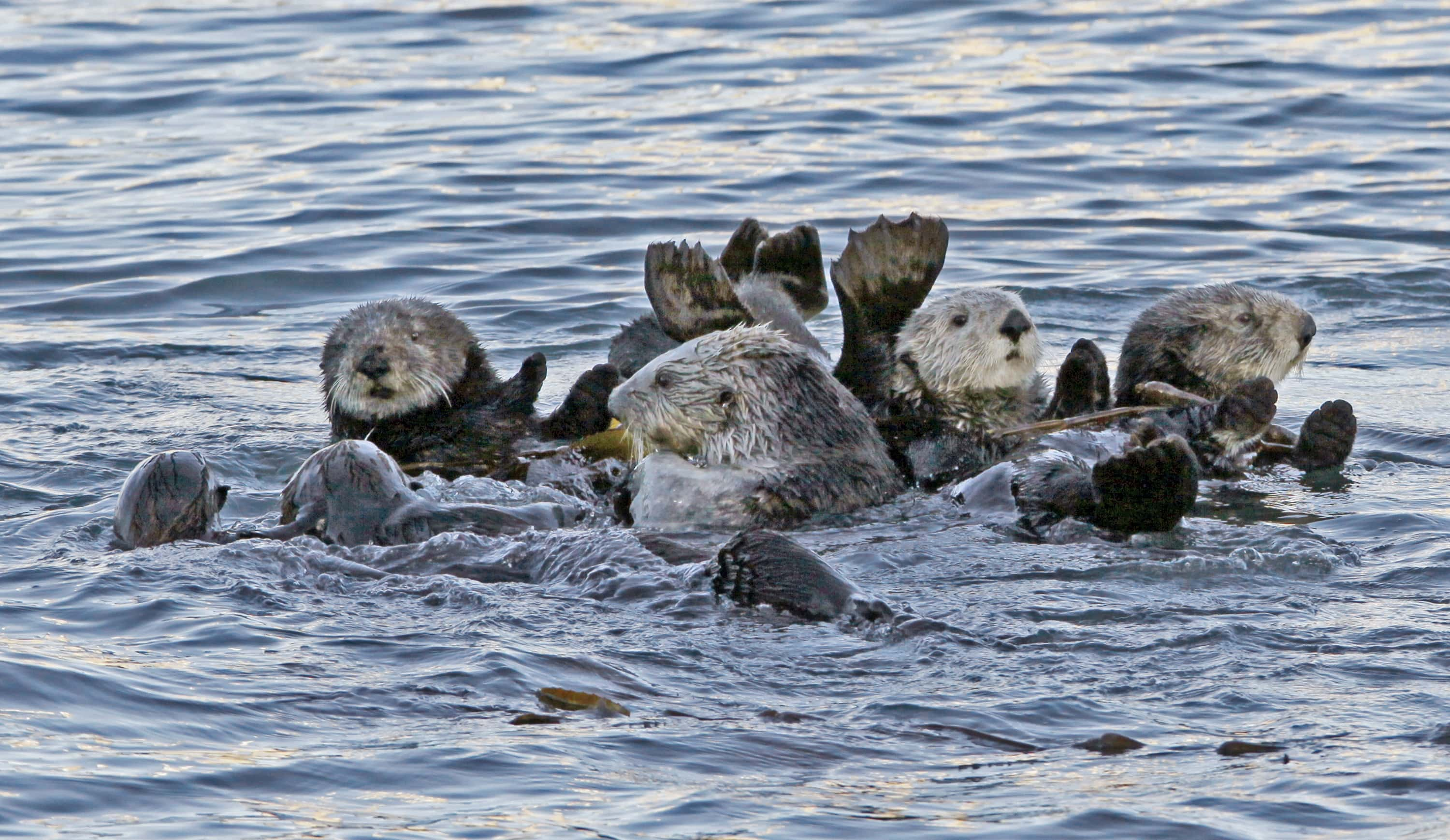 FILE - In this Jan. 15, 2010, file photo, a group of sea otters gather in Morro Bay, Calif. The U.S. Geological Survey said Monday, Sept. 19, 2016, that a recent count found sea otter numbers have exceeded 3,090 for the first time. If those numbers hold for the next two years, federal officials could consider removing the otter from Endangered Species Act protections. (AP Photo/Reed Saxon, file)