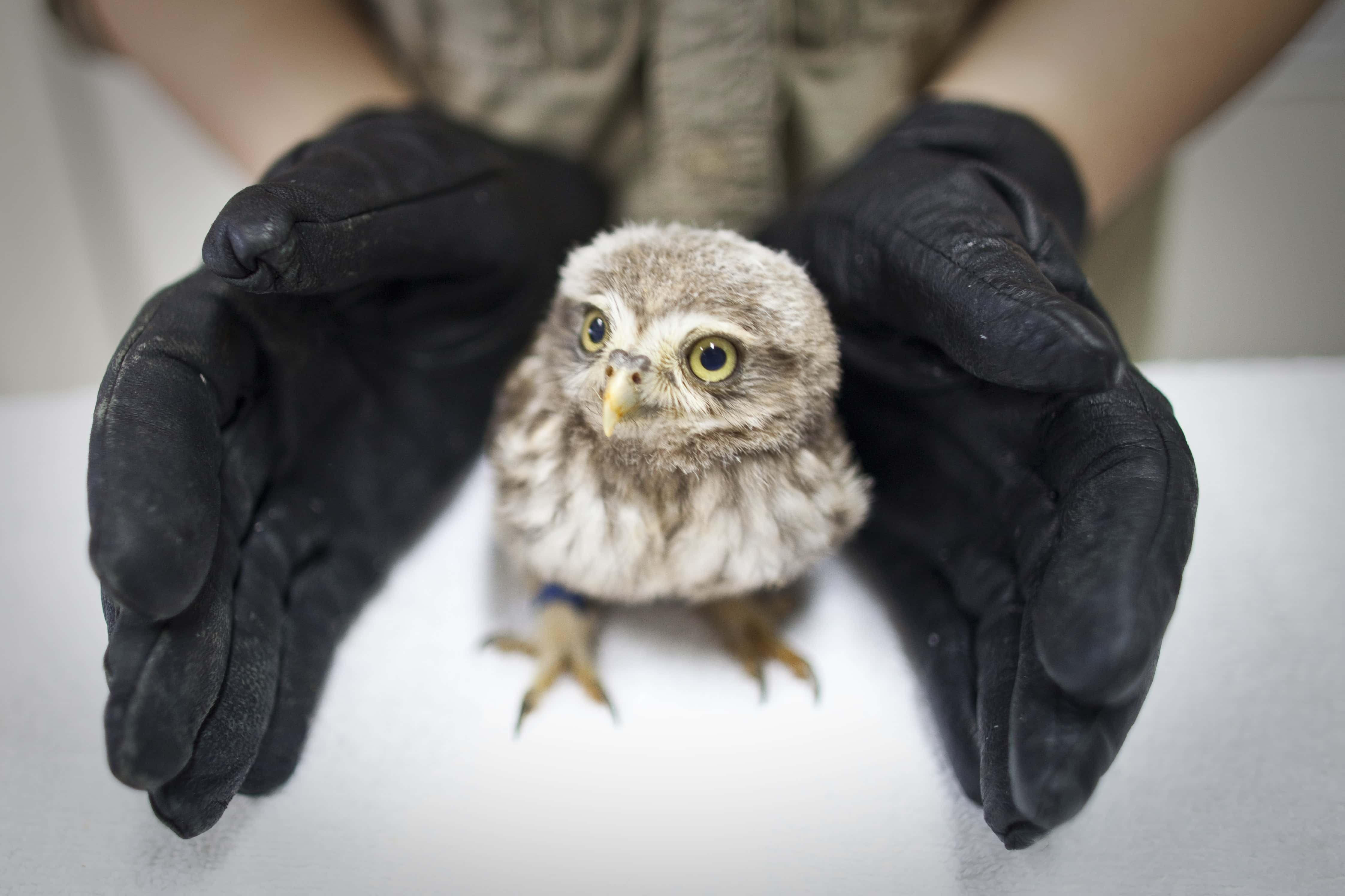 In this May 16, 2011 photo, a veterinarian stretches her hands to protect a little owl, which is poisoned by pesticide and suffering from a neurological disorder that makes it difficult to keep its balance while standing, after a medical check at the Beijing Raptor Rescue Center in Beijing, China. As Beijing falls along a north-south migratory route that the birds use, more than 43 types of raptors can be found in the city year-round, some of which die or are injured in collisions with skyscrapers and overhead lines or  trapped by illegal bird catchers. (AP Photo/Alexander F. Yuan)