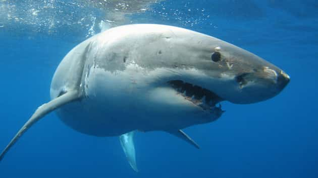 United States kayaker attacked by great white shark