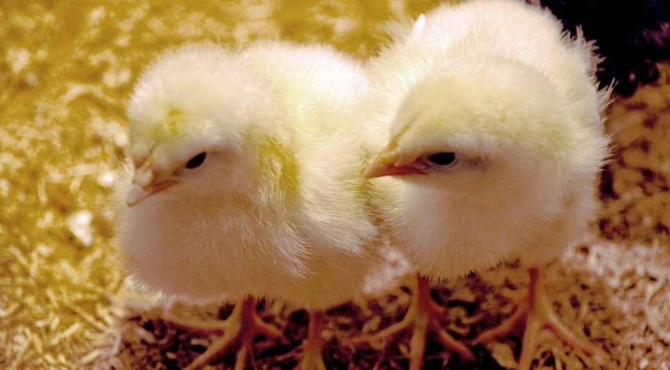 Montana Part of Multi-state Outbreak Linked to Live Poultry
