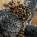 Infant-Marmoset-at-Wonders-of-Wildlife-Cody-Skidmore-1