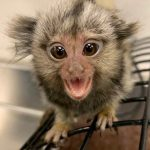 Infant-Marmoset-at-Wonders-of-Wildlife-Jordan-Allen