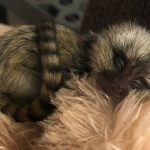 Infant-Marmoset-at-Wonders-of-Wildlife-Olivia-Rose-3