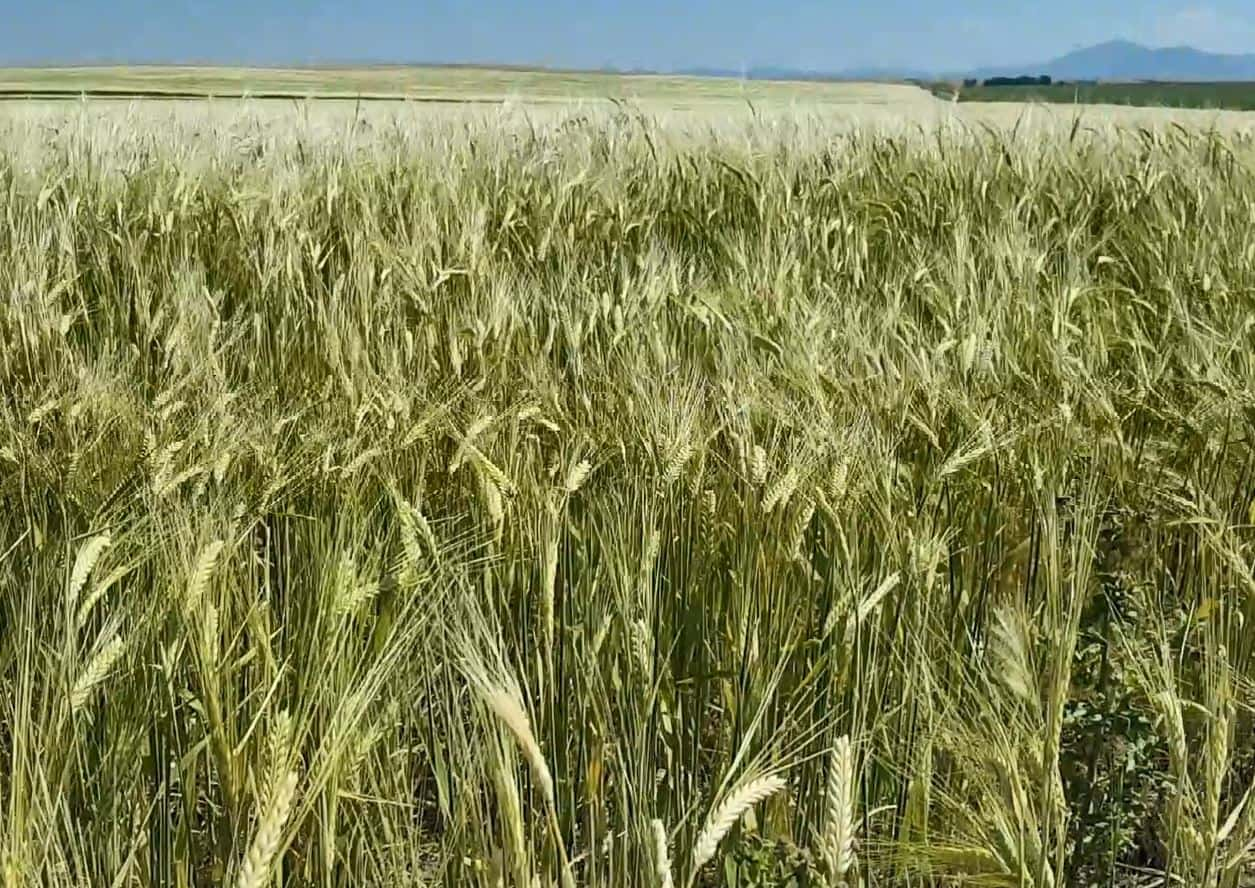 MSU Introduces Two New Winter Wheat Varieties | Northern AG Network
