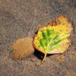 Sandy-Leaf-1