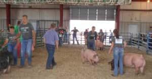 Swine Show pic 1
