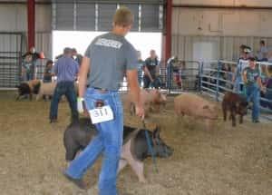 Swine Show pic 3