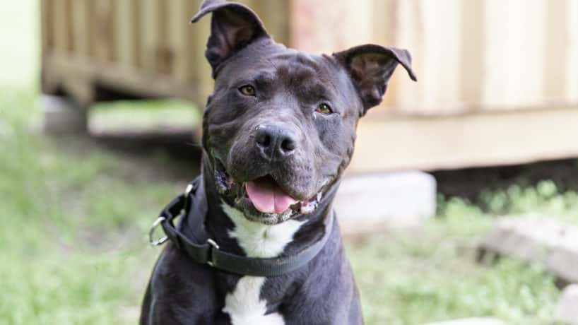 Maverick an adoptable dog