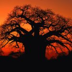 A beautiful African tree at sunset