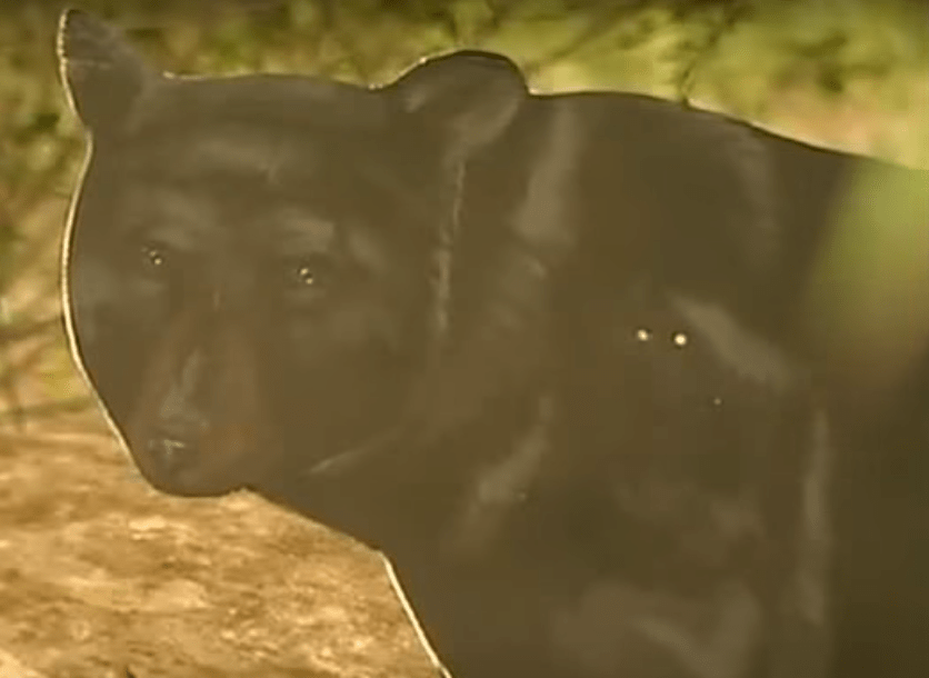 a cardboard cut out of a bear used in a local news segment on bears