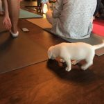 Puppy Yoga : A puppy crawling around on a yoga mat.