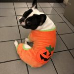Alfie(& Katy)ween: Day 4 A Basic Bitch and her Pup-kin Spice Latte : Alfie Dressed as a pumpkin