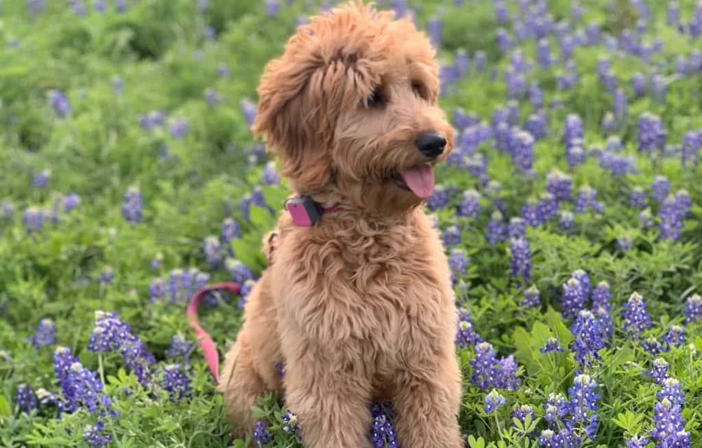 a golden doogle sitting in a field of bluebonnets