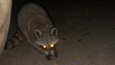 the racoon that came into deb's backyard and let her feed him