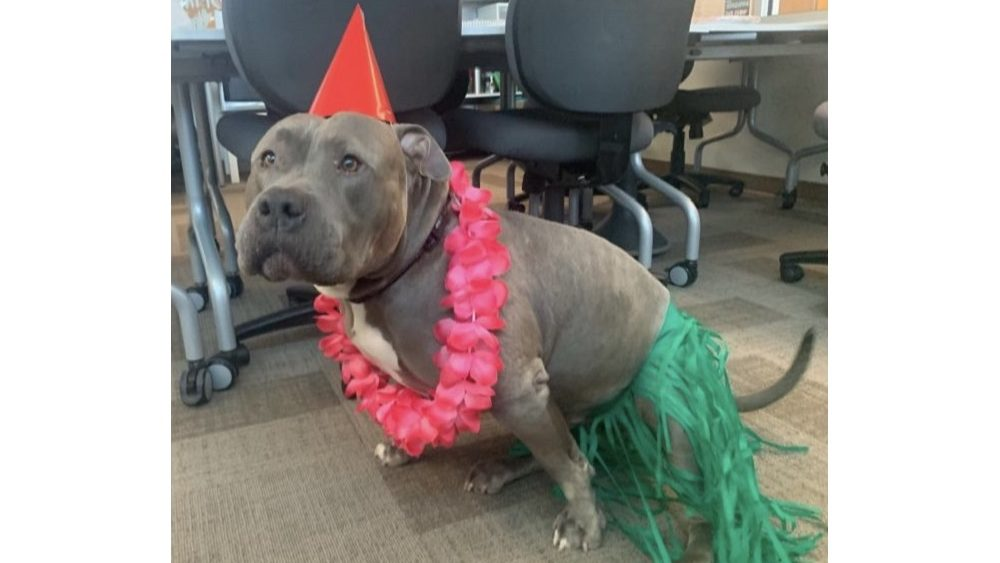 listener laurie's dog manny the manatee dressed like a hula girl dash ornament